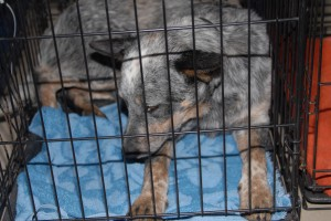 A blue heeler dog recovers from surgery during one of our clinics